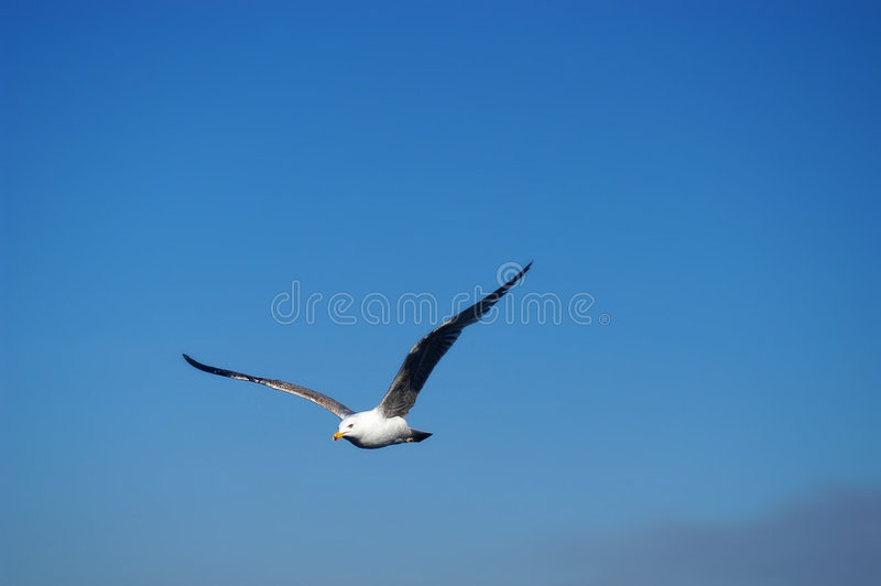 Seagull. Flying royalty free stock photo