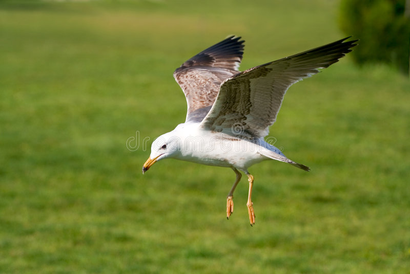 Seagull. Landing in a grass surface stock photos