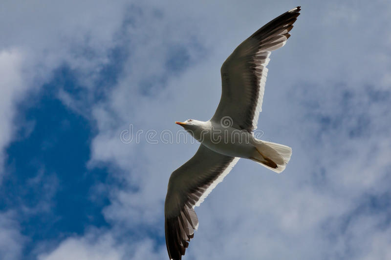 Download Seagull stock image. Image of flying, freedom, color - 24638959