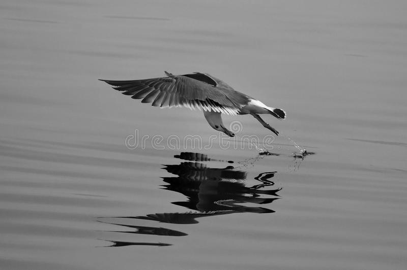 Download Seagull stock image. Image of open, birds, gull, flying - 24644959