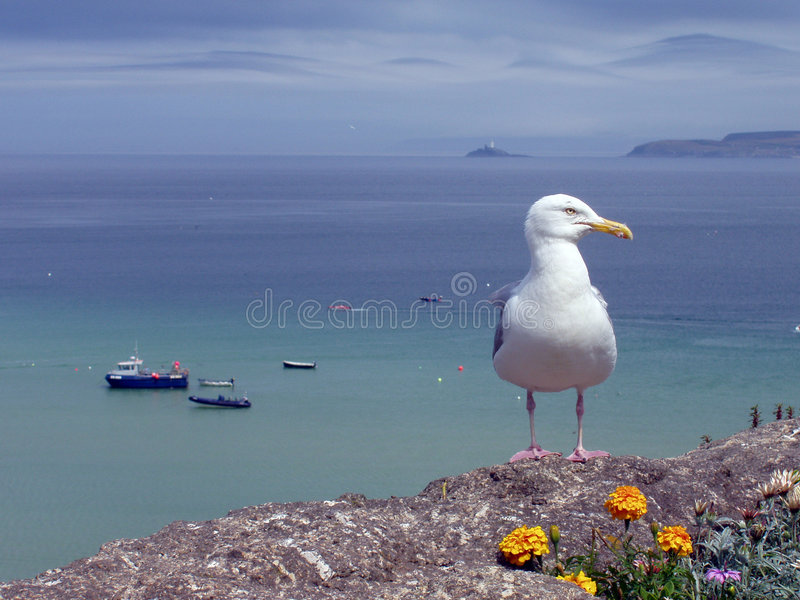 Seagull. A seagull perched above a harbour on the wall at St Ives, Cornwall, with boats on the sea in the background. A typical seaside summer image