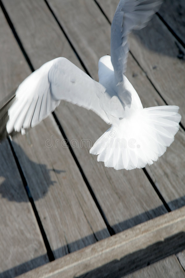 Seagull. A seagull coming in to land on the boardwalk royalty free stock image