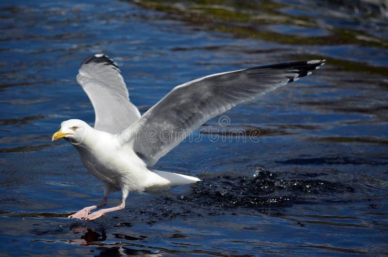 Download Seagull stock image. Image of water, wildlife, beak, white - 25165165