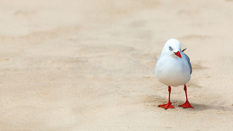 Download Seagull stock photo. Image of white, outdoor, banner - 26339430