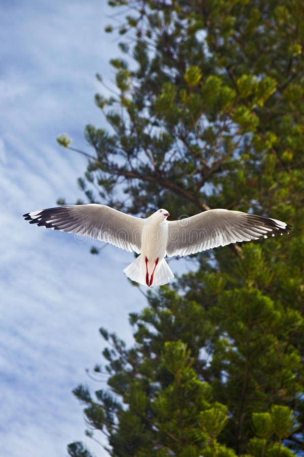 Download Seagull stock image. Image of single, free, blue, bird - 26904503