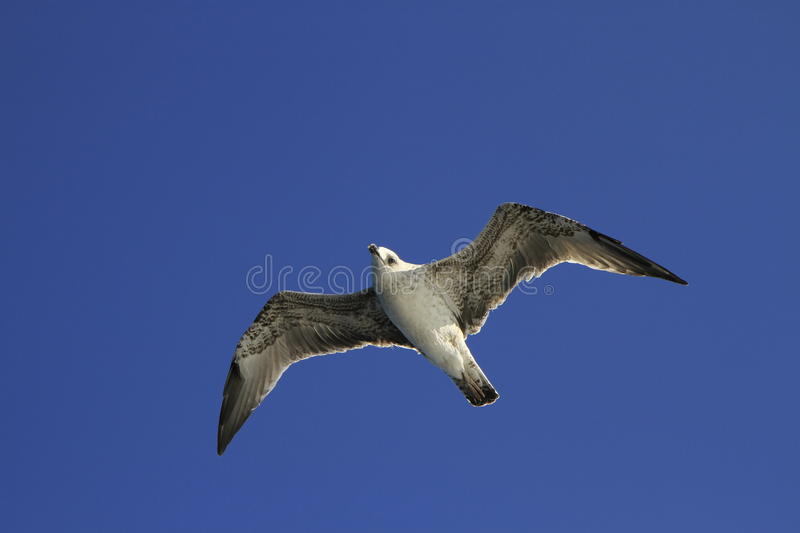 Download Seagull stock photo. Image of nature, summer, gull, freedom - 27125254