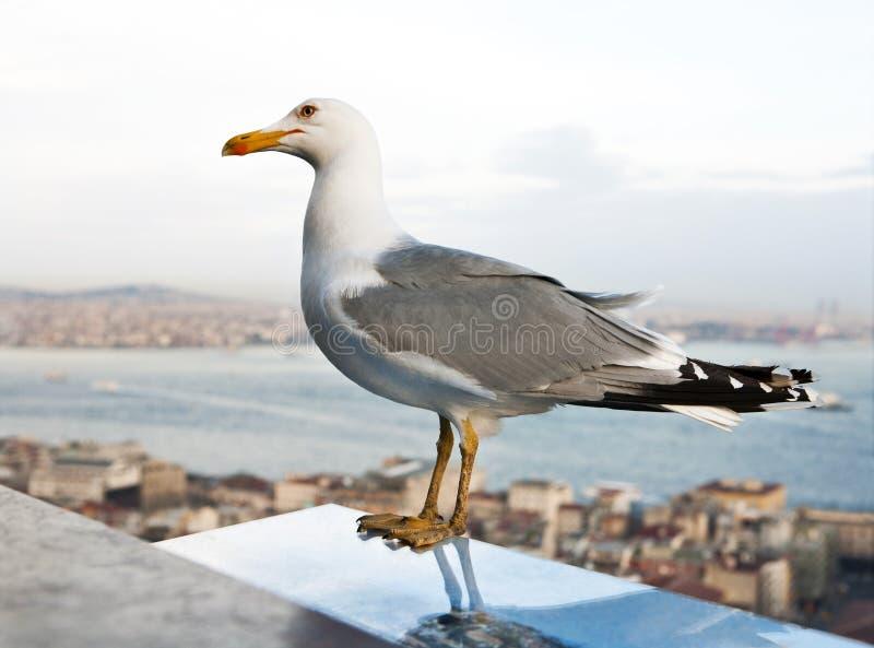 Download Seagull stock image. Image of head, destination, marine - 27172781