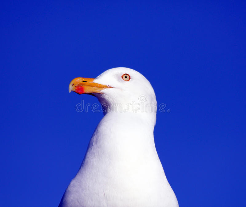 Download Seagull stock photo. Image of feathers, gull, coastal - 27411408