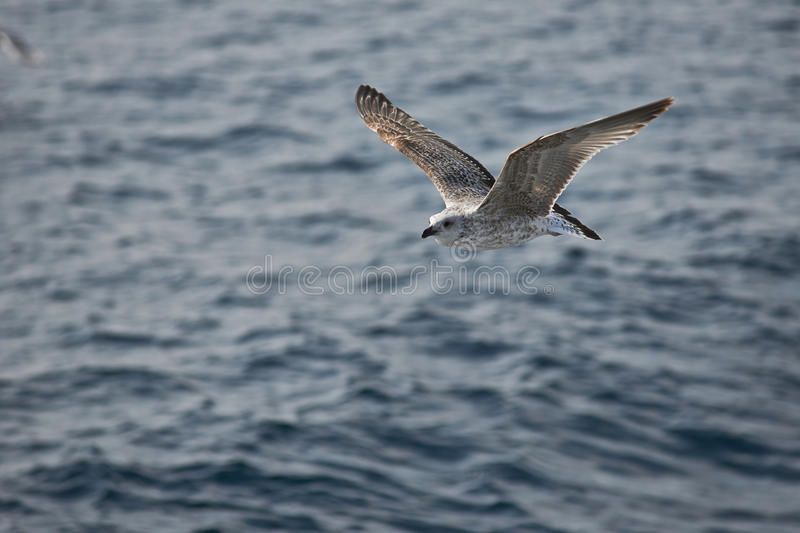 Download Seagull stock photo. Image of horizon, gliding, mid, group - 28162888