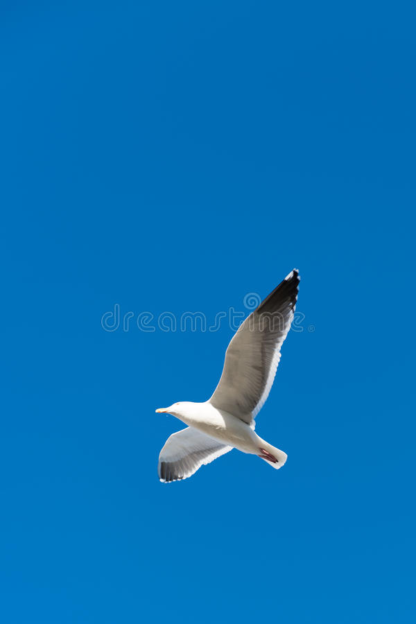 Download Seagull stock image. Image of seagull, freedom, wildlife - 28349285