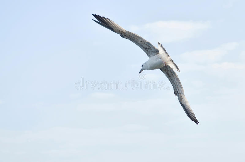 Download Seagull stock photo. Image of flying, blue, carefree - 28383678
