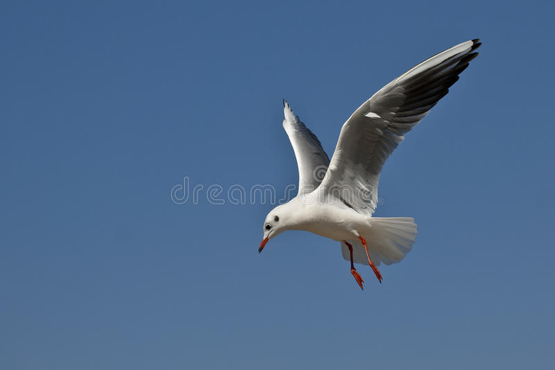 Download Seagull stock illustration. Image of blue, background - 29242965