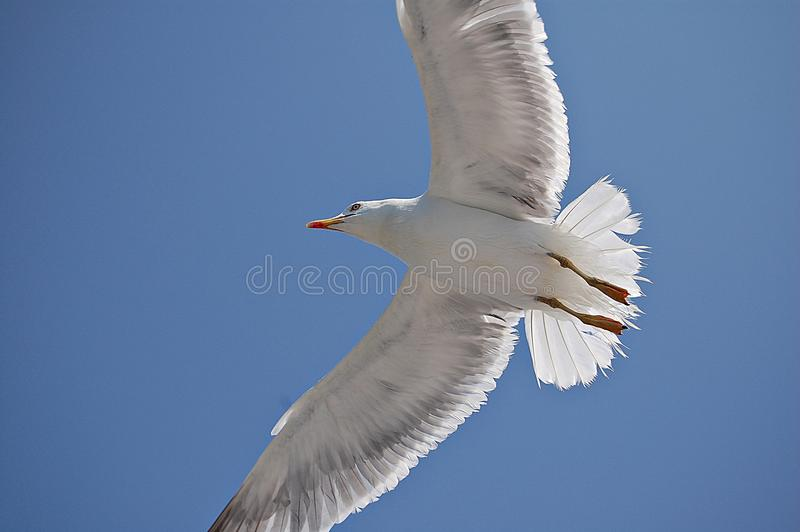 Seagull.2 royalty-vrije stock foto's