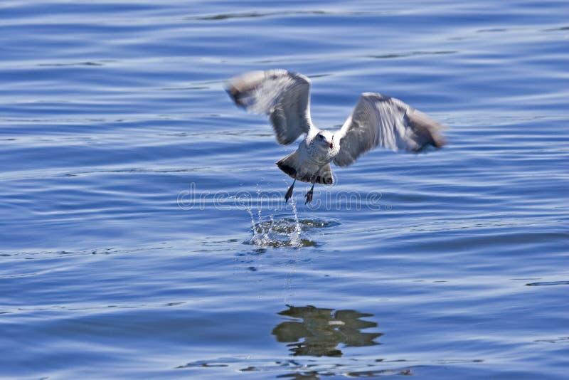 Seagull. Feeding royalty free stock photos
