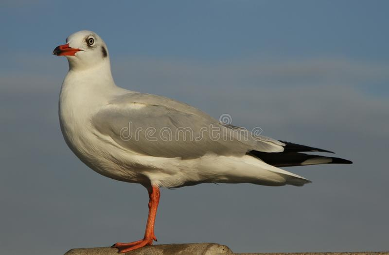 Download Seagull (4) stock photo. Image of blue, bird, independence - 23259672