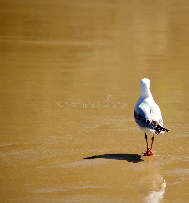 Free Seagull Royalty Free Stock Photography - 4114697