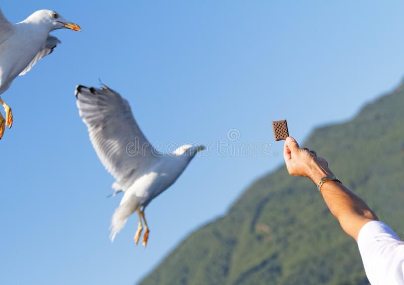 Download Seagull obraz stock. Obraz złożonej z wybrzeże, feed - 41953087