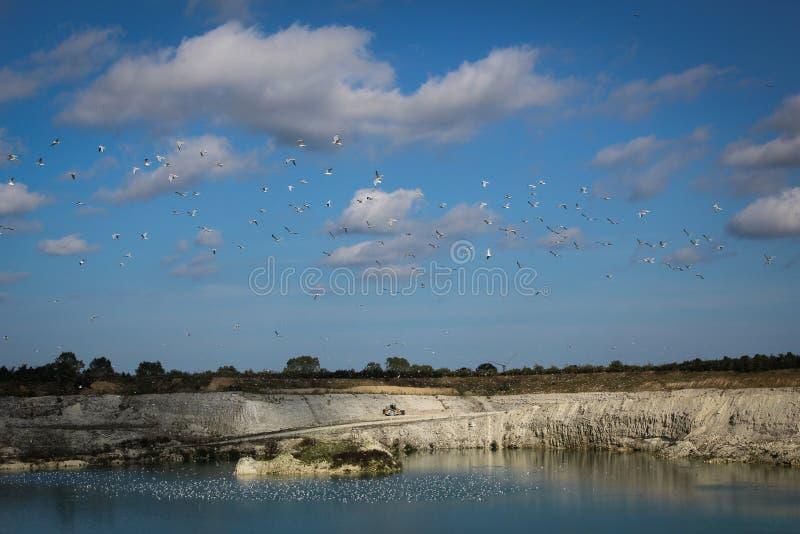 Seagull fotografia stock