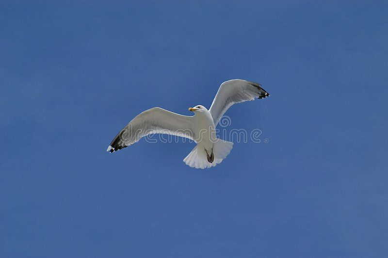 Download Seagull stock image. Image of wing, wings, eyes, beak, feather - 45261