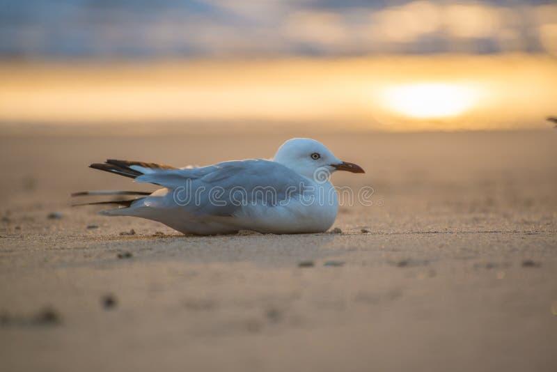 Seagull zdjęcia royalty free