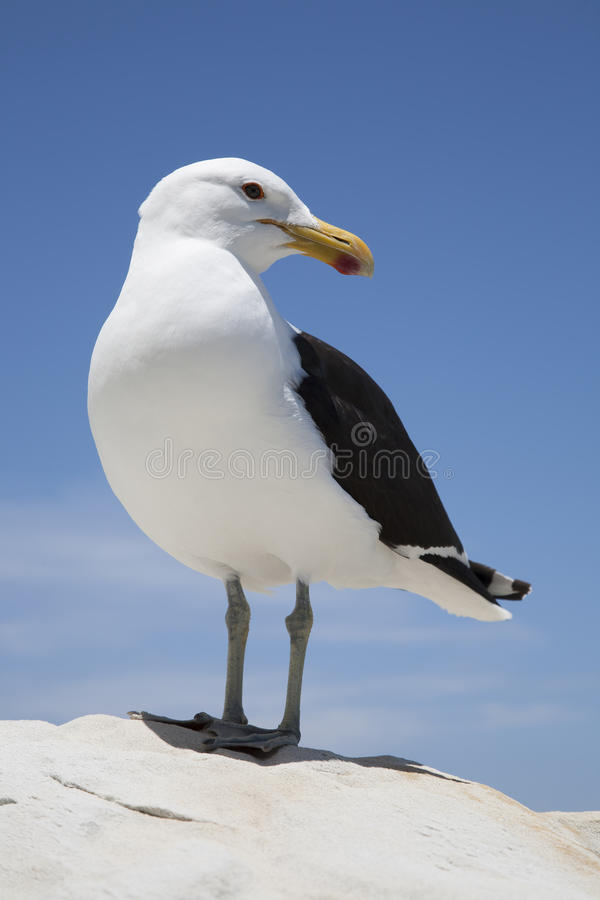 Free Seagull Stock Photos - 51115073