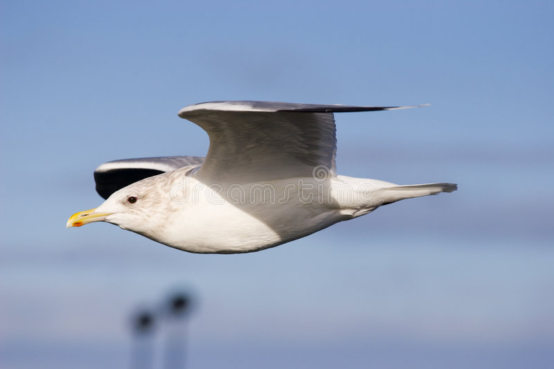 Download Seagull stock photo. Image of gull, flight, seagull, blue - 5337650