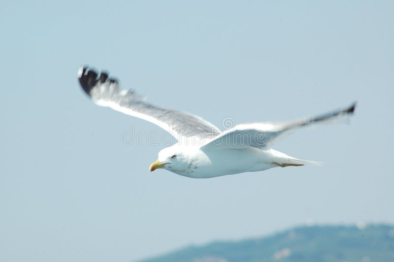 Download Seagull stock image. Image of free, flying, animal, bird - 5350937