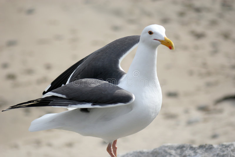 Seagull. Preparing for flight royalty free stock photography