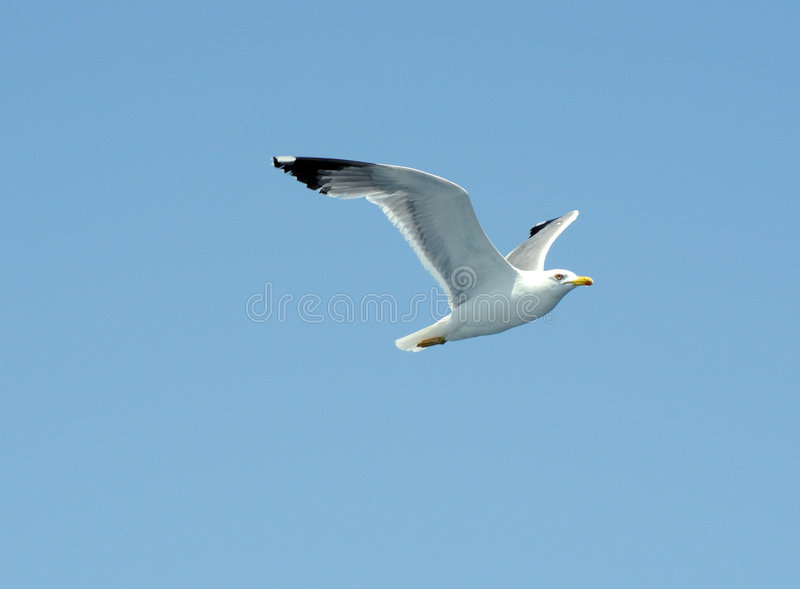 Download Seagull stock photo. Image of seagull, freedom, animal - 6183392