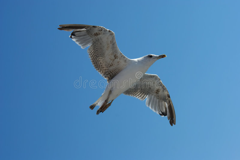 Download Seagull stock image. Image of white, gliding, wings, animal - 7266635