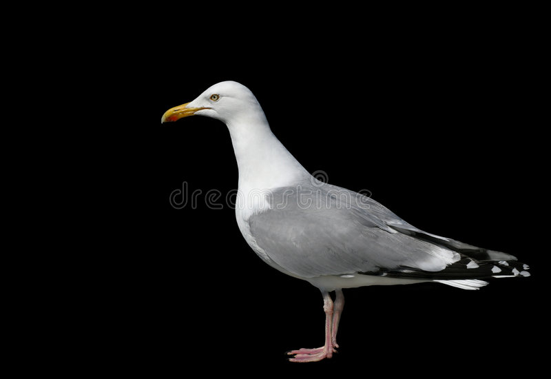 The Seagull stock images