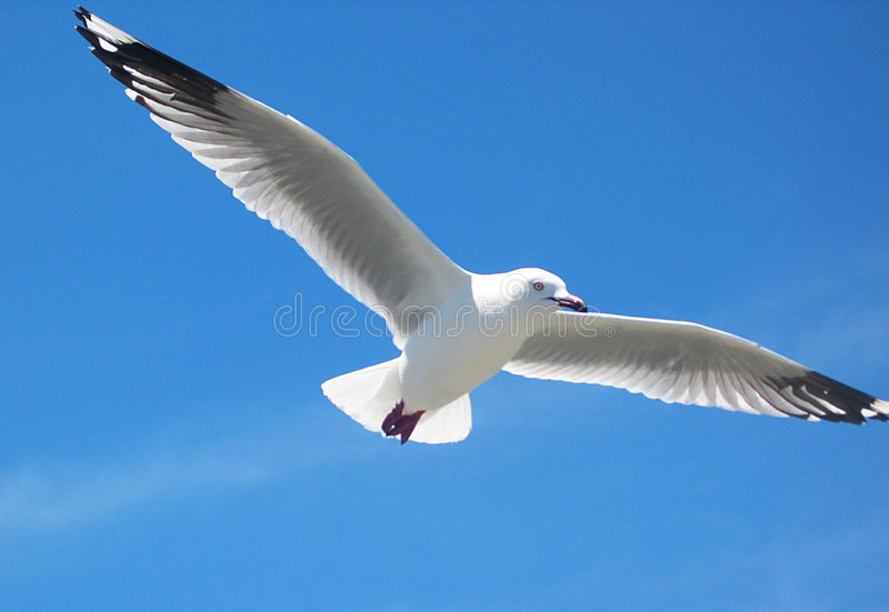 Download Seagull stock photo. Image of wings, freedom, feather, flying - 89892