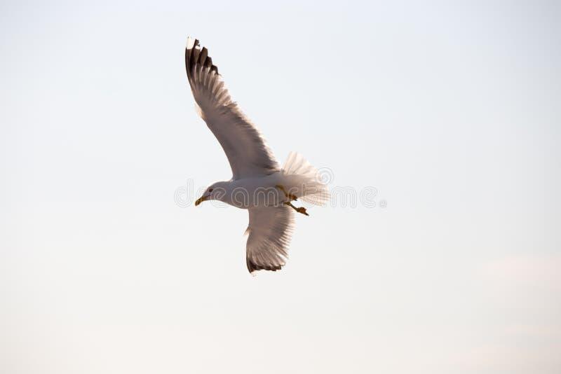 Seagull 16 fotografia royalty free