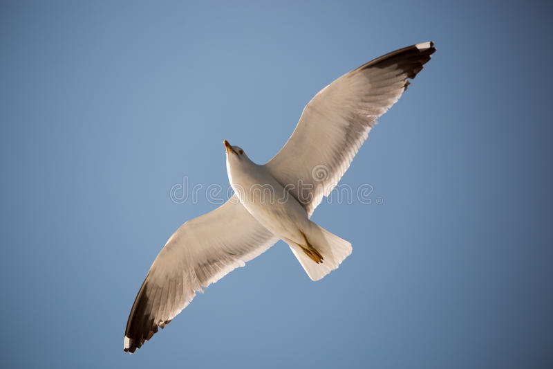 Seagull 16 zdjęcia royalty free