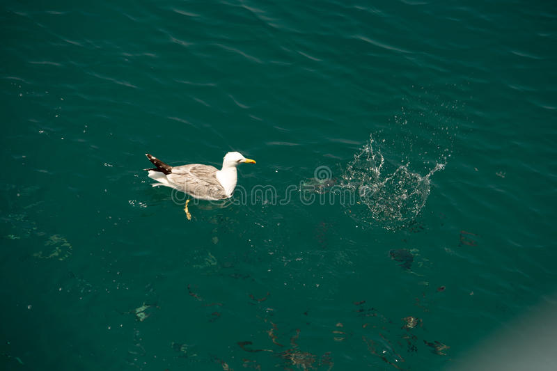 Seagull 16 obrazy stock