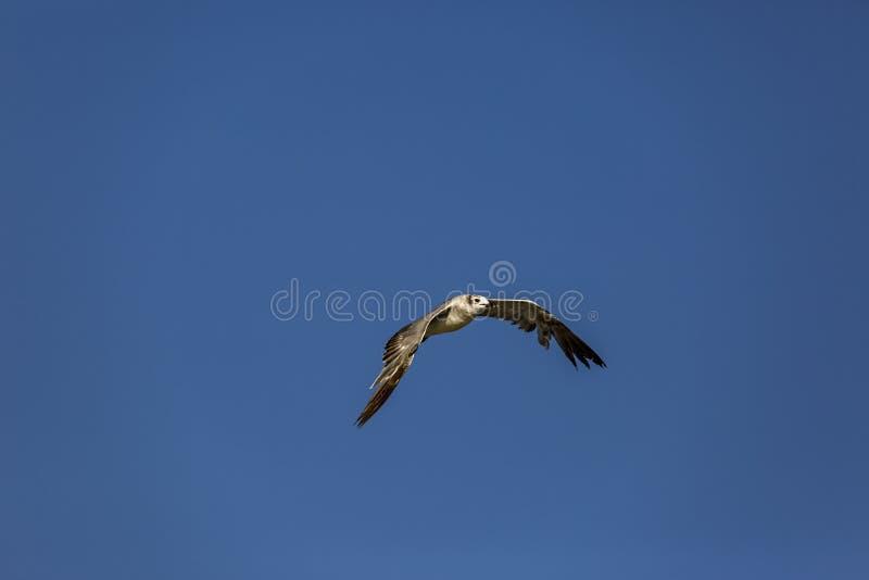 seagull 3 στοκ εικόνα με δικαίωμα ελεύθερης χρήσης