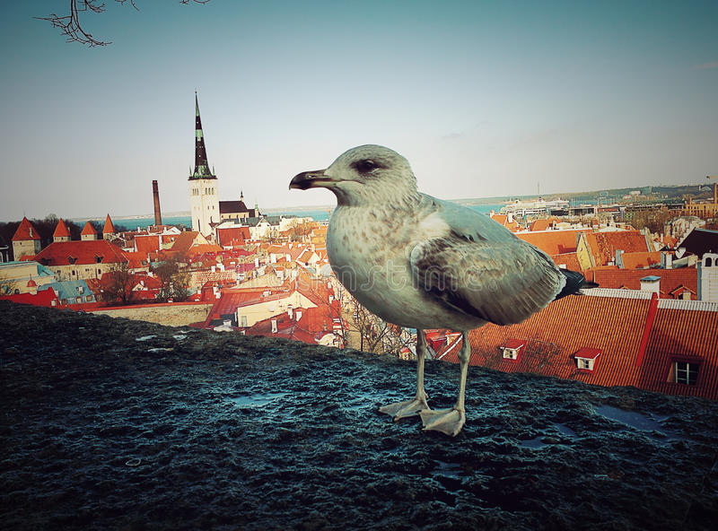 Seagull above old town. In old Tallinn view with bird to old houses stock photos