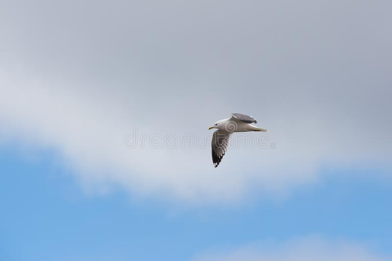 Seagull flying in the sky royalty free stock photo