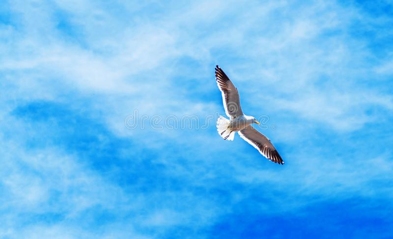 Group of seagulls in the sky, Puerto Montt, Chile. With selective focus. Seagull against the sky, Puerto Montt, Chile. With selective focus royalty free stock images