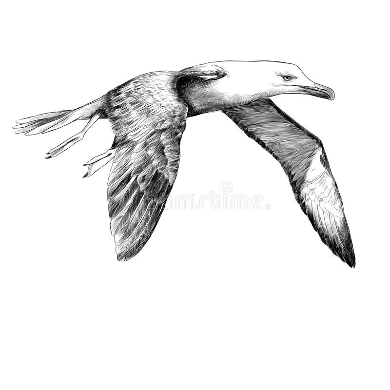 Seagull Albatross bird sketch vector. Seagull Albatross bird in flight with open wings sketch vector graphics black and white drawing stock illustration
