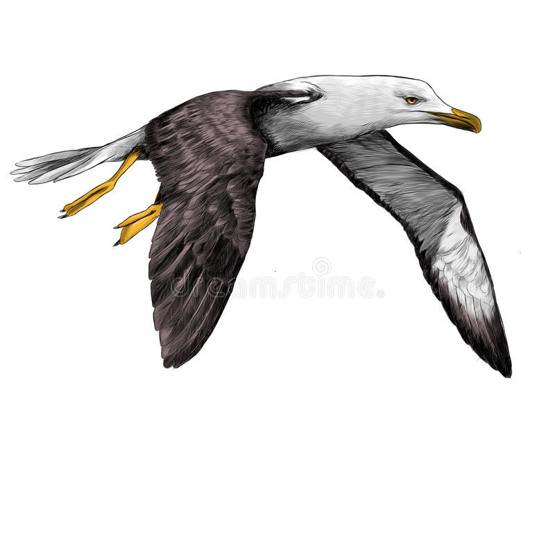 Seagull Albatross bird sketch vector. Seagull Albatross bird in flight with open wings sketch vector graphics color picture royalty free illustration