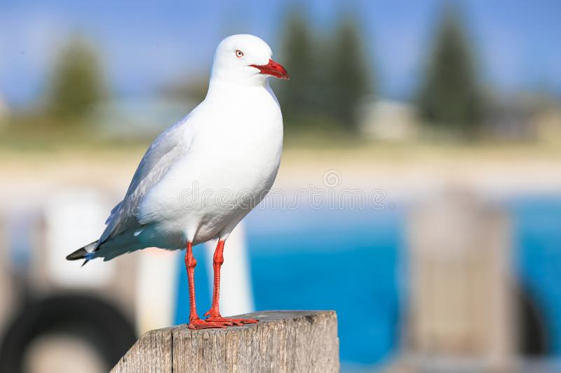Seagull as seen from Fremantle fishing boat harbour Perth Australia.  stock images