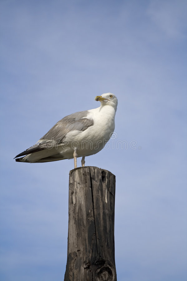 Free Seagull At The Beach Royalty Free Stock Photo - 6458555