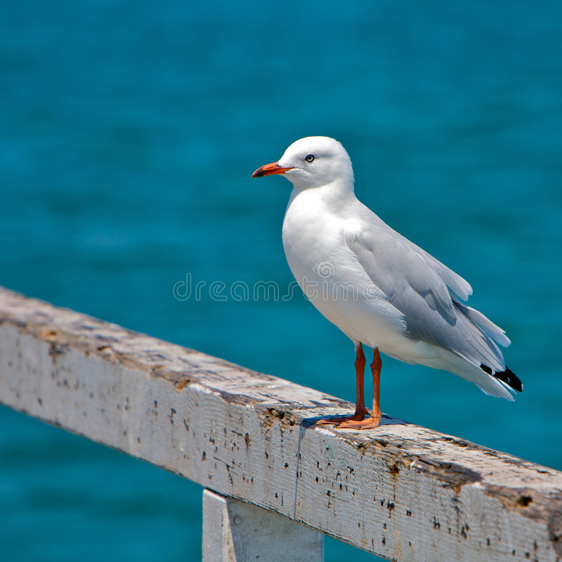 Free Seagull At The Beach Stock Photography - 8490222