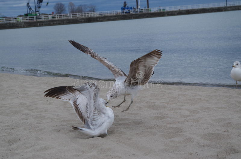 Seagull attacking stock image