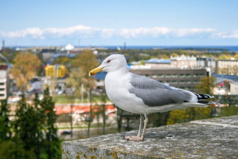 Seagull auf einer Wand steht bereit zu fliegen stockfotos