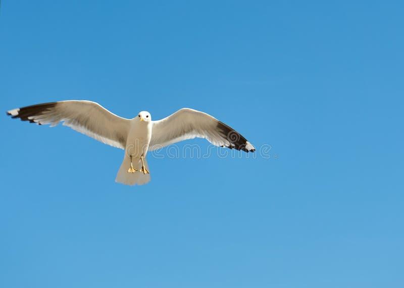 seagull b??kitny niebo zdjęcie stock