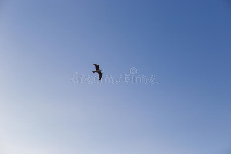 Seagull on a background of blue sky.  stock photography