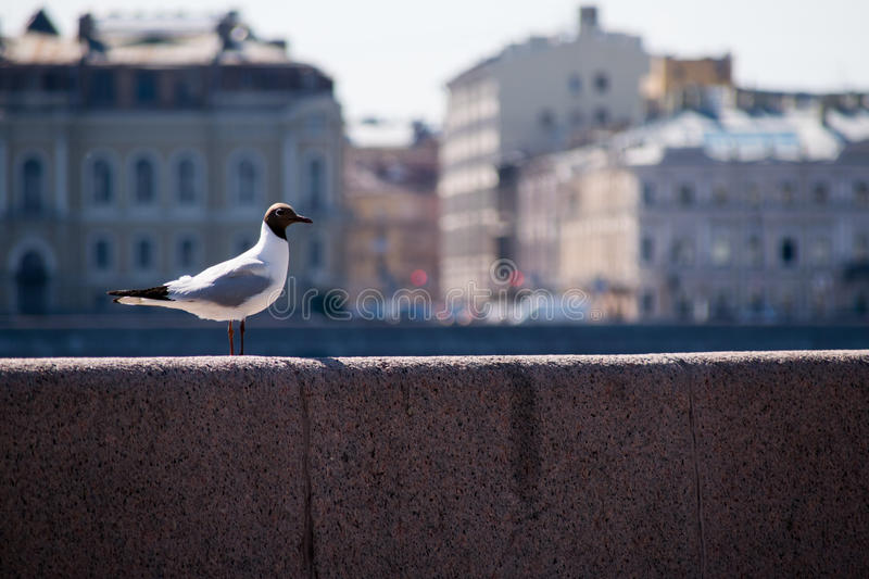 Seagull. On the background of St. Petersburg royalty free stock photography