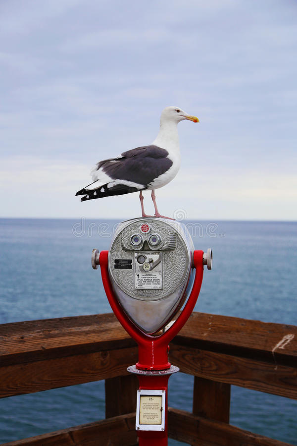 Seagull on Balboa Island royalty free stock photos